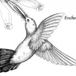 Rosensteinmuseum Kolibri